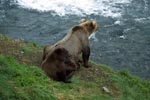 Brown bears watch the activities at the waterfall