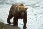 Big brown bear with proper fat pads