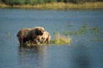 Small grass island with two brown bears