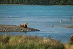 Brown bear familiy on the river bank