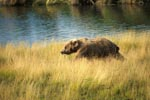 Brown bear in the high river grass