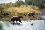 Brown Bears travelling along the River