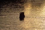 Brown bears in the evening light in the river