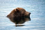 Brown bear looking for salmon in the Brooks