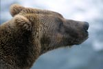 Brown Bear probed the situation