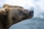 Brown bear portrait from the side