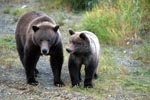 Sow with young Bear