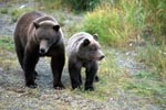Sow with young Bear at the river bank