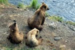 Bear family has a rest on the River bank