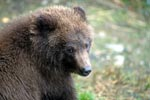 Portrait of a young Brown bear