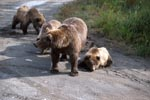 Bear family travelling to the river