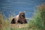 Astonished brown bear on the river