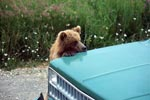Young Brown Bear on the car looks critically