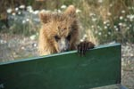 Young brown bear looks at the loading area