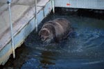 Brown bear at the pontoon bridge