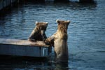 Brown bears on the Ponntoon bridge