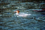 Diving specialist Goosander