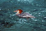 Swimming Goosander