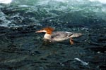 Common merganser on the water surface