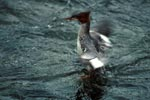 Goosander with rapid wing beat
