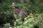 Spruce Grouse at home in the dense coniferous forest