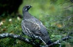 Spruce Grouse - frugal and cold-resistant