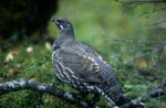 Spruce grouse on the Brooks River