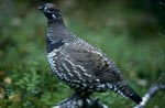 Spruce Grouse (Dendragapus canadensis)