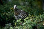 Spruce Grouse looking for berries