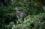 Berries - a treat for the Spruce Grouse