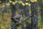 Spruce Grouse on a branch