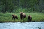 Sow with her cubs in the Katmai backcountry
