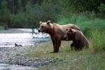 Sow with her spring cub on the riverbank