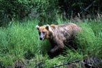 Brown bear comes out of the high grass