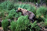 Brown bear in the grass