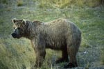 Brown Bear on the river bank