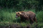 Brown bear in the high grass on the river bank