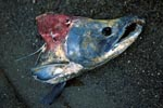 The end of a Sockeye Salmon