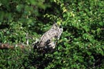 Great Horned Owl at Lake Coville