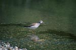 Greater Yellowlegs in shallow water