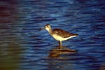 Greater Yellowlegs searching for food