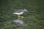 Greater Yellowlegs search for food