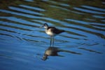 Greater Yellowlegs sees his reflection