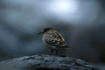 Common surfbird at Cook Inlet