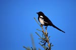 Black-billed Magpie on a fir