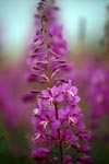 Fireweed in all its glory