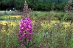 Fireweed on the river bank