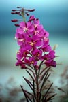 Flowering Fireweed