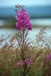 Fireweed on the river