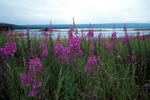 Fireweed at the Brooks River